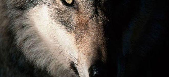 К чему приснился волк во сне: значение и толкование по соннику