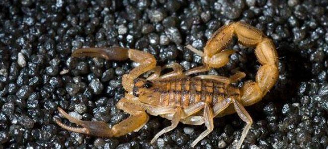 Видеть во сне скорпиона: к чему снится и как толковать
