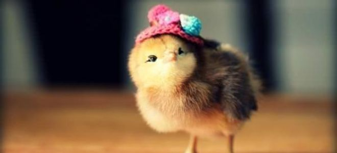 Сонник цыплята: к чему снятся, толкование и значение по соннику