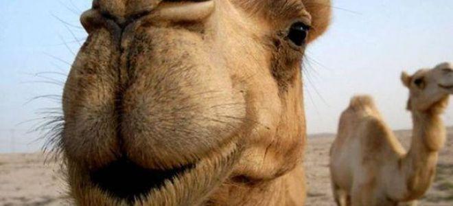 К чему снится верблюд во сне — толкование и значение по соннику
