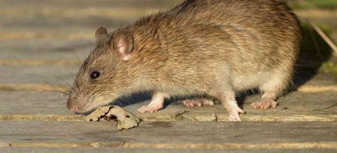 Во сне приснилась крыса: трактовка сна для женщин и мужчин