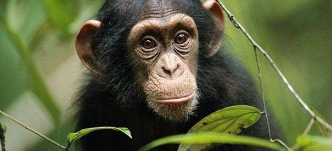 Приснилась обезьяна во сне: толкование увиденного по соннику