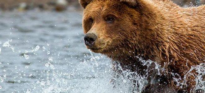 Приснился медведь во сне: к чему снится косолапый?