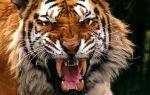 Приснился тигр во сне — толкование по соннику и значение сновидения