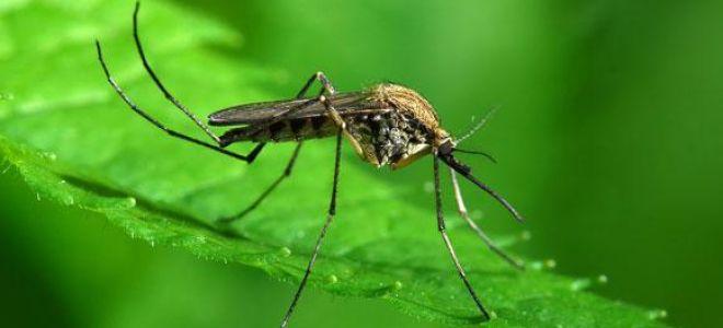 Сонник комары: к чему снятся и какая трактовка?
