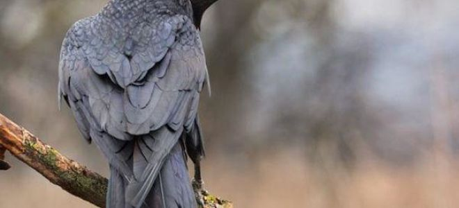 Приснился черный ворон или ворона во сне: толкование по соннику
