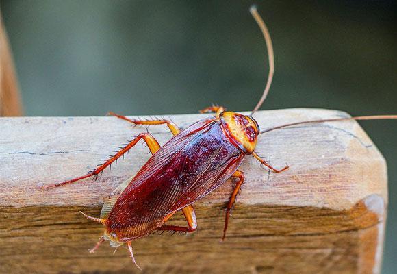К чему снятся тараканы — много тараканов в квартире что значит