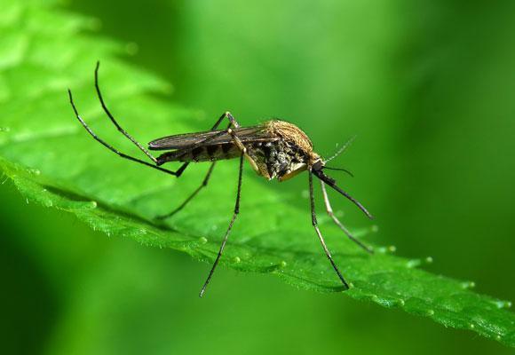 К чему снятся комары - сонник. Комары в большом количестве во сне