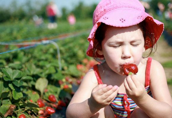 Девочка кушает клубнику с грядки