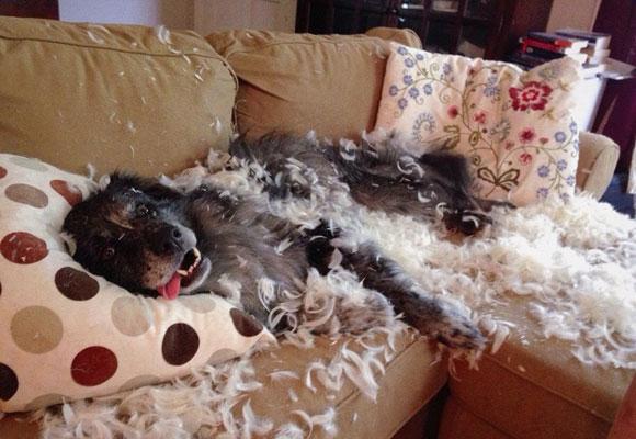 Собака разорвала подушки