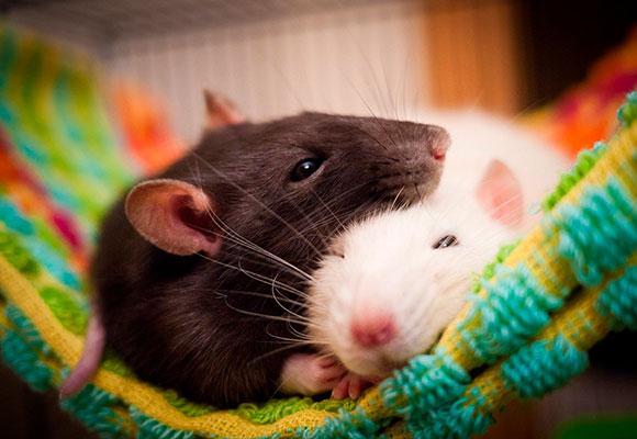 Две крысы