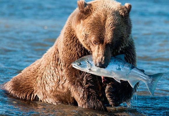 Медведь поймал рыбу