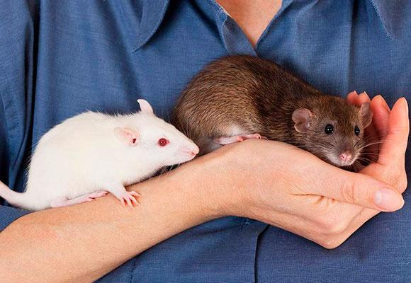 Человек держит в руках декоративных крыс