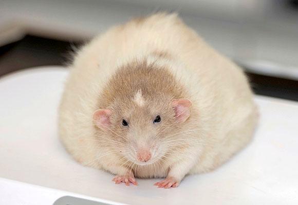 Жирная огромная крыса