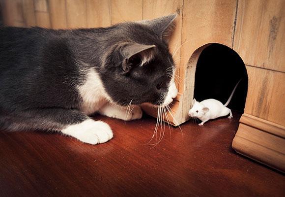 Кот ловит крысу