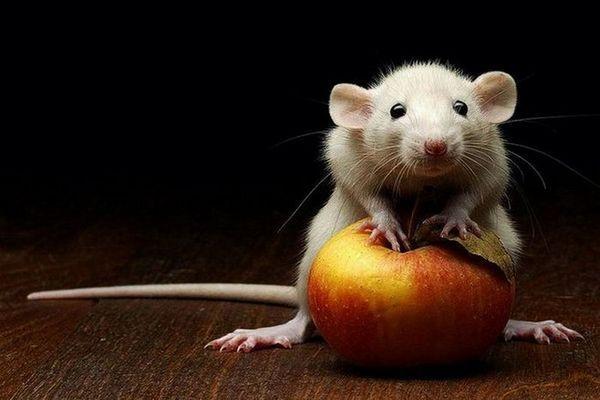 Мышь во сне к чему снится девушке
