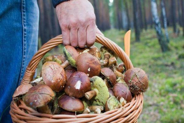 собирать грибы