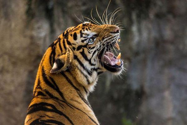 тигр нападает