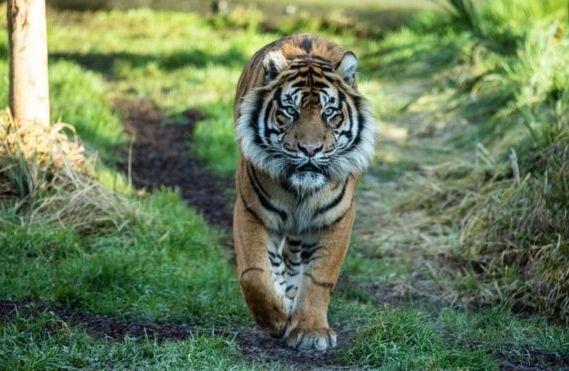 тигр гуляет