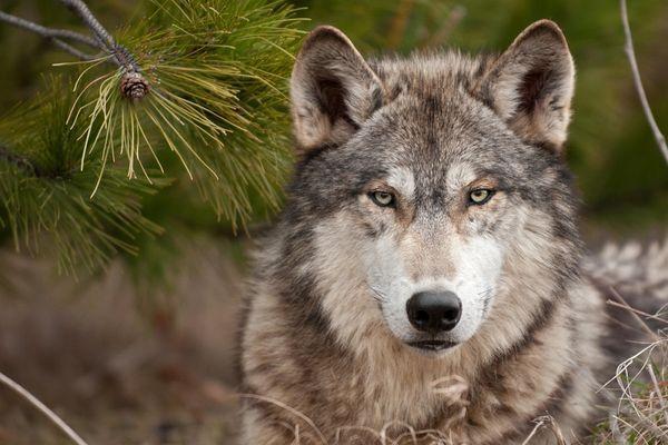 волк лежит