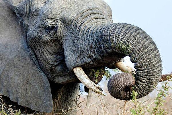 слон кушает