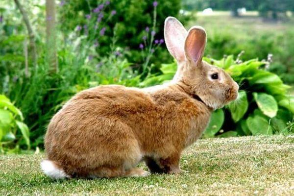 рыжий кроль