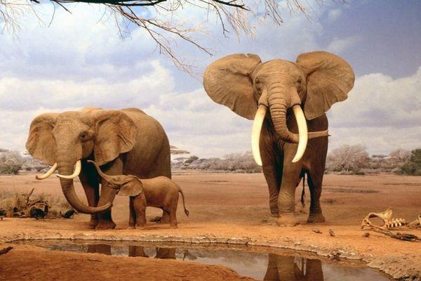 слоненок и родители