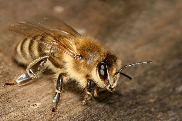 пчела на доске