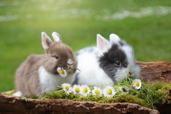 кролики и ромашки