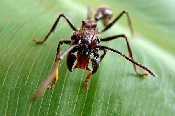 муравей пуля
