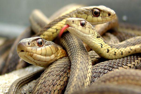 много змеи