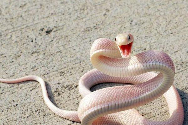 змея альбинос