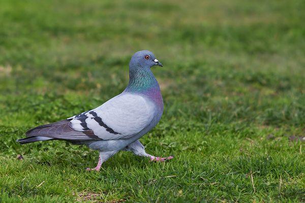 голубь бежит