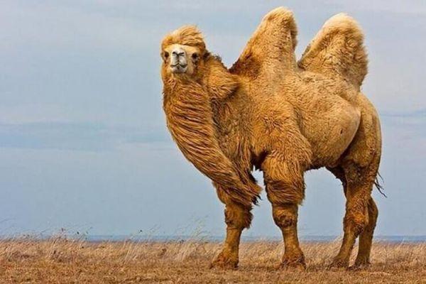 большой верблюд