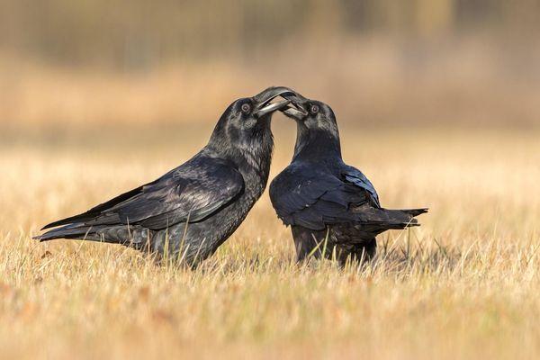 вороны на поле