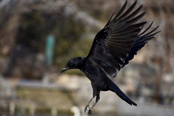 ворона летит