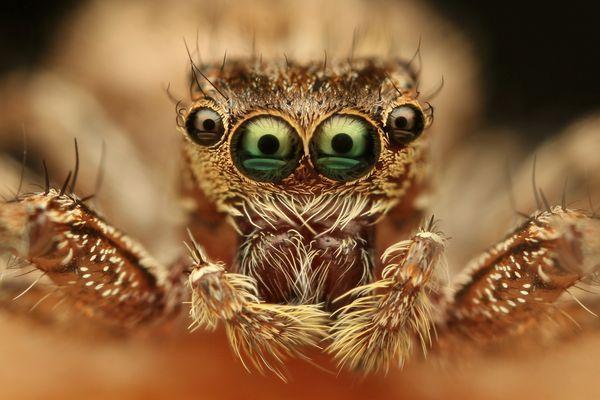 паук с четырьмя глазами