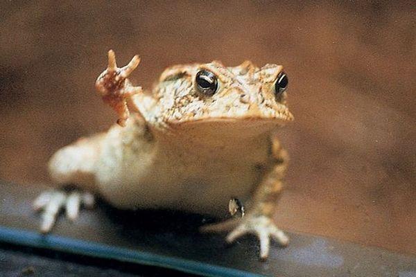 жаба машет лапой
