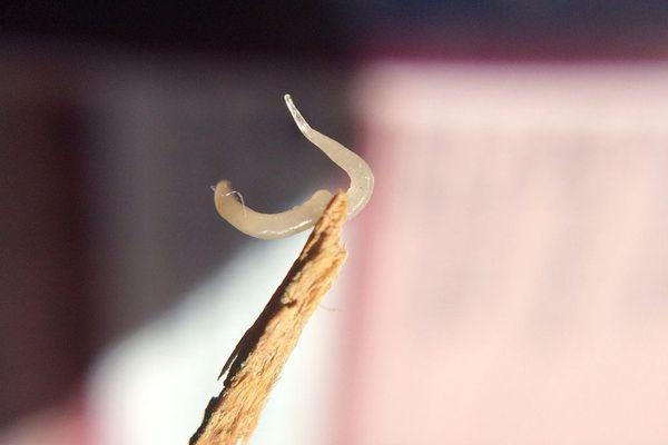 червь на палочке