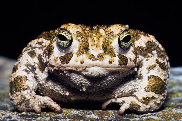 большая пятнистая жаба