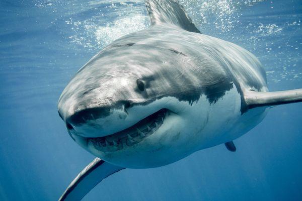 акула нападает